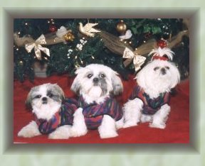 3 shih tzu's in coats